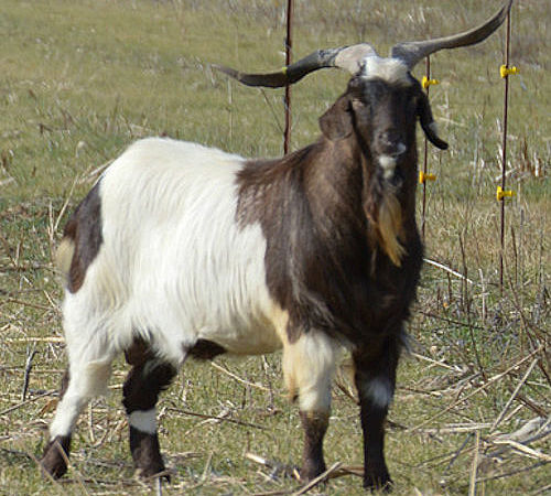 Indian Outlaw, Registered 100% New Zealand Billy Goat owned by Dean Hill Kikos