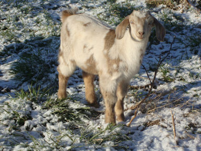 doeling goat for sale