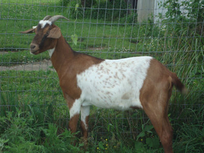 doeling for sale