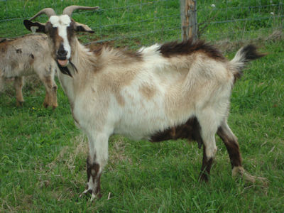 Nanny goat for sale, WHF_B89_Fancey