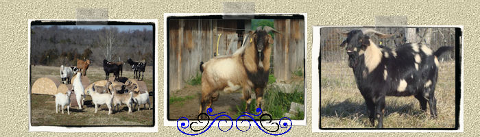 New Zealand Kiko goats for sale